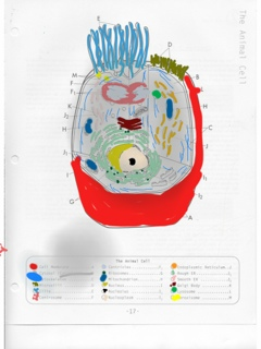 Animal Cell Coloring